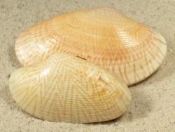 Paphia undulata TH 4,5+cm