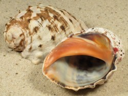 Plicopurpura patula CW 5,3+cm