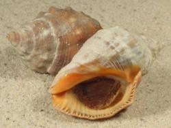 Stramonita haemastoma m/O ES-Mittelmeer 4+cm