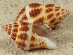 Pollia wagneri TH 2,2+cm