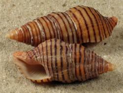 Turrilatirus turritus PH 3,5+cm