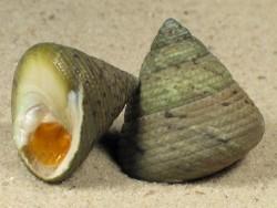 Tegula pellisserpentis m/O CR 2,3+cm