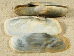 Tagelus adansonii GM 5,5+cm