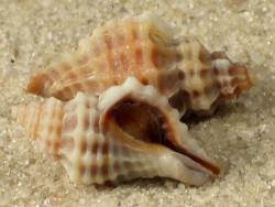 Urosalpinx tampaensis m/O US 1,5+cm