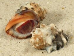 Plicopurpura patula m/O BS 2,5+cm
