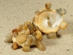 Xenophora senegalensis CI 3+cm