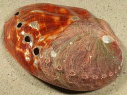 Haliotis rufescens 1/2-poliert MX 13+cm