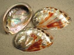 Abalone Haliotis rufescens poliert 06+cm
