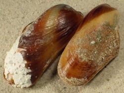 Modiolus americanus BS 5+cm