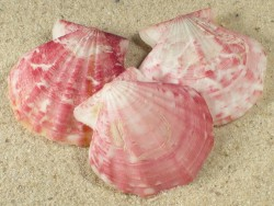 Flexopecten glaber proteus ES-Mittelmeer 3+cm