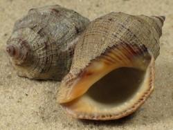 Stramonita biserialis PA 2,5+cm