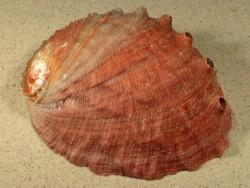 Haliotis assimilis rot MX 15+cm