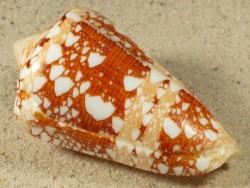 Conus ammiralis PH 4,5+cm
