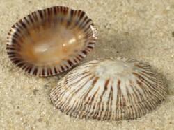 Lottia leucopleura US 1,5+cm