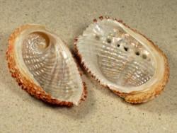 Haliotis squamosa MG 6+cm
