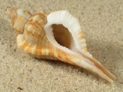 Turritriton tenuiliratus PH 3,5+cm