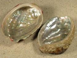 Haliotis tuberculata lamellosa IT 5+cm