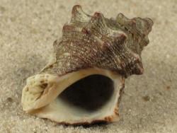Thaisella kiosquiformis MX 2,8+cm