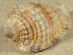 Morum grande CN 5,5+cm