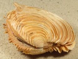 Circomphalus foliaceolamellosus GA 7,5cm *Unikat*