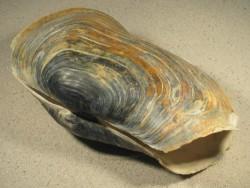Muschel Panopea glycimeris ES 22,5cm groß *Unikat*