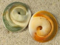 Turbo fluctuosus Operculum 1,5+cm