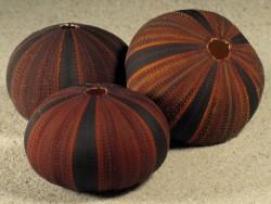 Mespilia globulus PH 4,3+cm