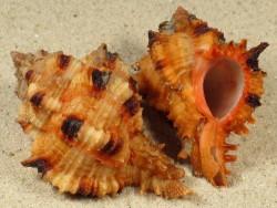 Hexaplex rosarium GA 5+cm