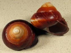 Pararyssota carolus PH 6,5+cm