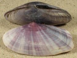 Gari elongata ID 4,9+cm