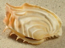 Bassina disjecta AU 4,8+cm