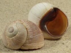 Helix melanostoma FR 2,8+cm