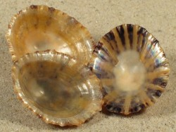 Cellana tramoserica AU 3+cm