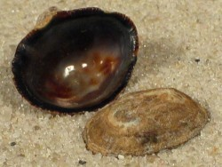 Scurria variabilis CL 1,2+cm