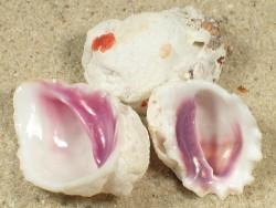 Coralliophila monodonta 2+cm