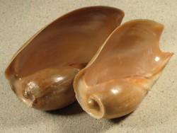 Cymbium pachyus CM 9+cm