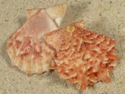 Scaeochlamys squamata JP 3,2+cm