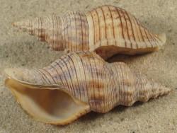 Siphonalia spadicea CN 4,5+cm