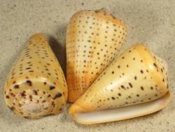 Conus betulinus 5+cm
