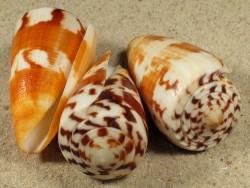 Conus striatellus MG 4,5+cm
