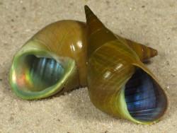 Phasianotrochus eximius AU 2+cm
