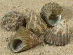 Jujubinus suarezensis MZ 0,9+cm
