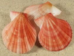 Chlamys hastata US 4,7+cm