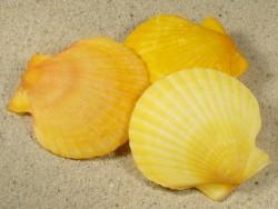 Aequipecten opercularis *gelb* FR-Ärmelkanal 5+cm
