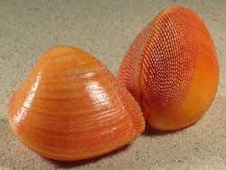 Nemocardium bechei PH 5+cm