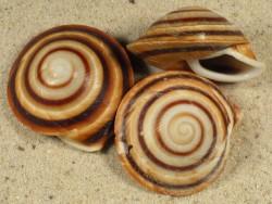 Pleurodonte rostrata CU 3+cm