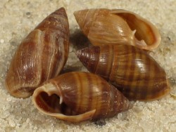 Pleuroloba costellaris NZ 0,8+cm