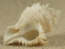 Babelomurex japonicus PH 3,5+cm
