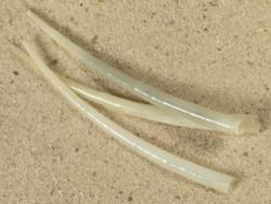 Calliodentalium semitracheatum PH 5+cm