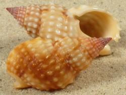 Nassarius papillosus MZ 3,9+cm